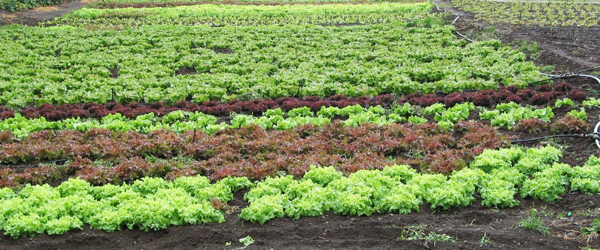 agriculture_salade_974_reunion_etude_ecologie_environnement