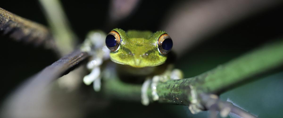 boophis_nauticus_976_faune_amphibien_mayotte_etude_ecologie_environnement