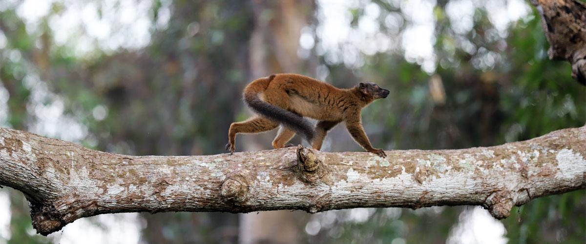 espece_protegee_lemurien976_faune_reptile_mayotte_etude_ecologie_environnement_derogation